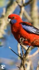 Australia-Southern_Crimson-Rosella-1080x1920
