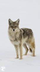 yellowstone_coyote-1080x1920