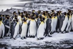 South-Georgia_king-penguin-group_Scott-Davis_WEB