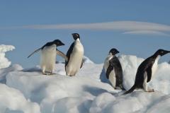 antarctica_adeliepenguin