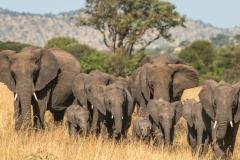 botswana_elephant_tommurphy