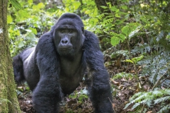 rwanda_mountaingorilla_scottdavis1