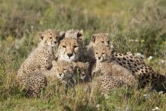 tanzania_cheetah2