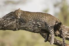 tanzania_leopard