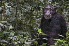 uganda_chimpanzee3_scottdavis